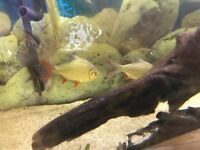 2 beautiful Colombian red tail Tetras and a Texas Cichlid for sale