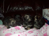 German Shepherd Puppies Full Pedigree / Long Haired , Straight Back