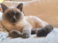 Beautiful Ragdoll x British Blue, 6 months old