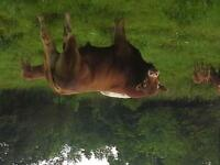 Polled Limo Bull