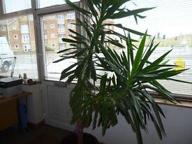 YUCCA HOUSE PLANT 7FT EXCELLENT CONDITION