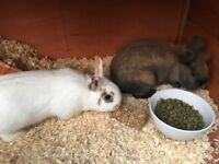 2 x rabbits and large rabbit hutch