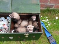 young ferrets