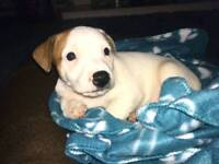 Jackrussell puppy cross with a staff