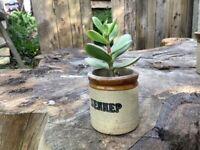 Plants- Jade (lucky money tree)