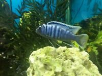 Cichlids for sale. £2 - 50 - 80 mm. About 30 Blue ones in total. Must reduce my number