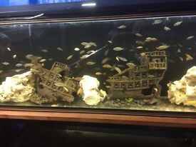 150 fish Malawi for quick sale 70 pence each!!!!!