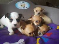 Jack Russel x chihuahua pups