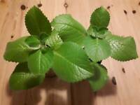 2 mexican mint plants