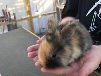 Mini Lops x Lionhead baby rabbits
