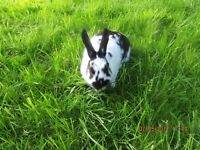 RABBIT FOR SALE STUNNING RABBIT FOUR MONTHS OLD LOP CROSS ENGLISH