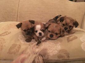 Shih tzu cross chihuahua puppy's