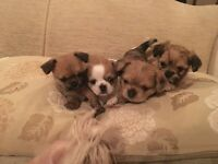 Shih tzu cross chihuahua puppy's