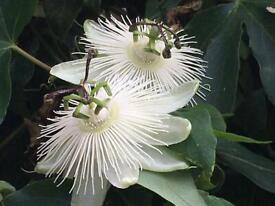 Unusual White Passion Flower Plants