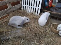 10 week old male continental cross French lop.x