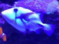 The Assasi Healthy Marine Triggerfish medium-size for sale