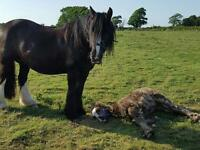 Horse For Sale 14.3HH COB