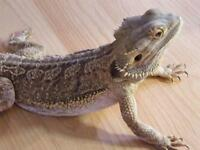Male and female bearded dragons + 4ft vivfor sale
