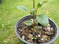 Plant for sale-Pink flower snapdragron plant in a 9 cm pot