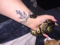 2 beautiful royal pothyn snakes 2 different prices