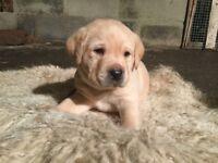Kc reg Labrador puppies