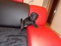 Beautiful PUG X puppy, girl, black