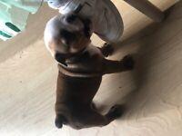 KC Reg English Bulldog Puppies