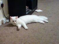 Beautiful spayed White female cat