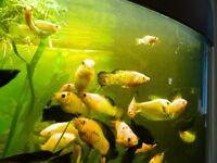 Free tropical fish (mollies)