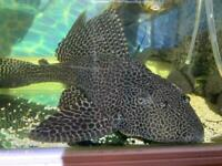 Large common Pleco Tropical fish