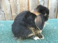 Mini lop Bucks for sale
