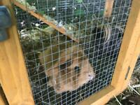 Two guinea pigs & indoor and outdoor pens
