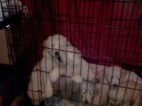 White pedigree German shepherd puppies