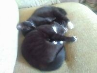 kittens 2 of black with bit of white 30 pound the pair must go together