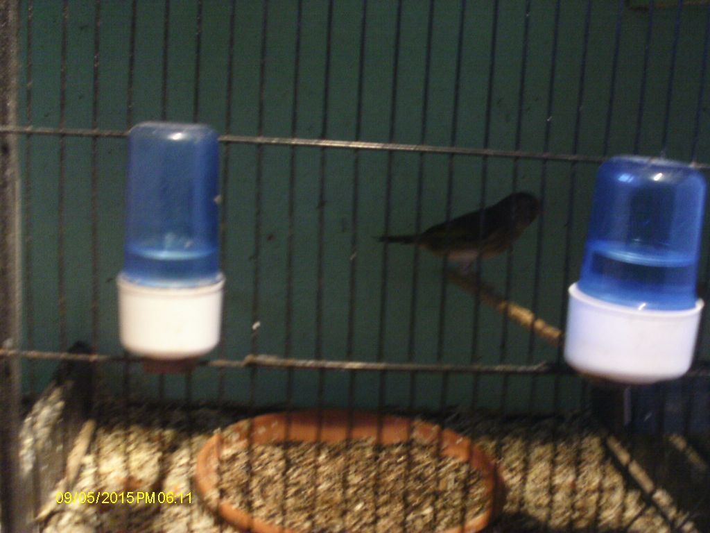 for sale hen goldfinch mules in gosport hampshire gumtree