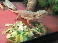 Male bearded dragon with everything!