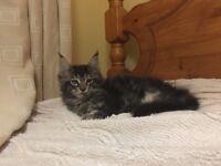 Maine Coon Kitten girl