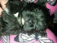 West Highland cross shihtzu puppies for sale