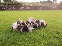 SHIH TZU puppies for sale (shihtzu)