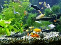 Tropical Fish - BN Plecos, Platys, Guppys and Mollys