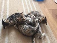 Snow Bengal cross kittens