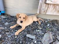 Red Labrador Pups