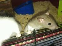Seven baby rats