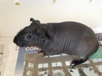 Guinea pigs hairless