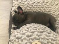 Blue kc reg French bulldog girl pup
