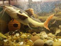 Monster Redtail catfish. 2foot long