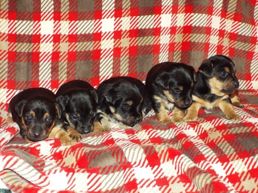 Short legged Black & Tan Jack Russell Terrier Puppies