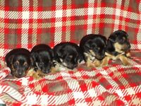 Short legged Black & Tan Jack Russell Terrier Puppies