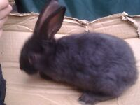 Gorgeous baby rabbit 8 weeks old