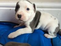 Puppy's Staff / Old English bulldog leicester area LAST PUP